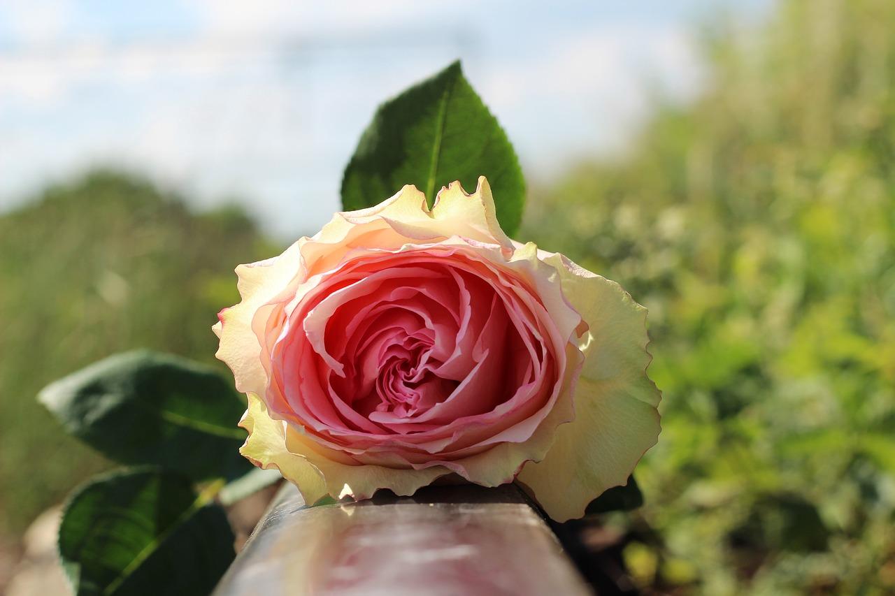 pogrzeby róża